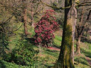 Cornish Red