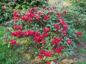 Rhododendron 'Red Centurion'