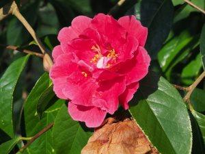 Kunming (reticulata) camellias