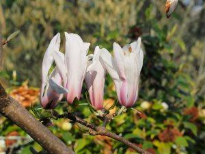 labelled Magnolia 'A. Kalleberg'