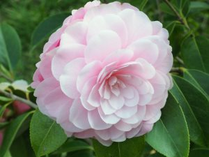 Camellia 'Mimosa Jury'