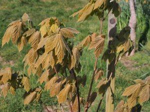 Acer tsinglingense