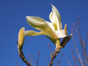 Magnolia 'Gold Finch'