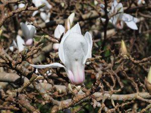 Magnolia soulangeana 'Sundew'