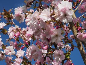 Prunus 'Matsumae-beni-yukata'