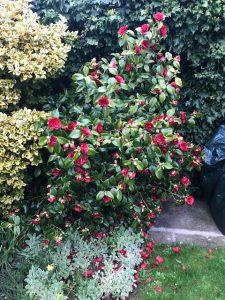 Camellia 'Mathotiana Rubra'