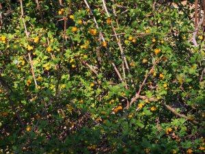Berberis wilsoniae
