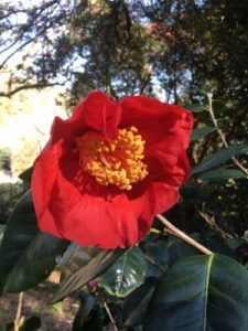 Camellia reticulata 'Red Crystal'