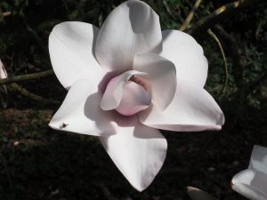 Magnolia campbellii 'Alba Group' seedling