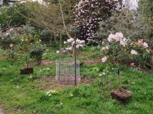 planting out rhododendrons