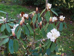 Rhododendron arboreum 'Sir Charles Lemon'