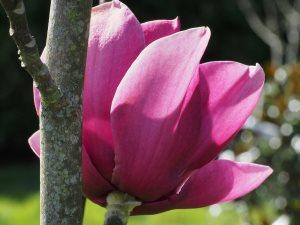 Magnolia 'Black Tulip' x Magnolia 'Serena'