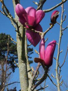 Magnolia 'Lili Diva'