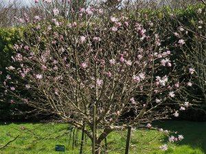 Magnolia x loebneri 'Raspberry Fun'