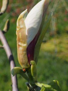 Magnolia brooklynensis 'Titan'