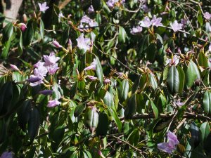 Rhododendron wilsoniae