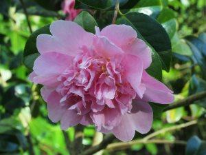 Camellia x williamsii 'Elsie Jury'