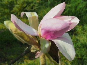 Magnolia 'Kusious'