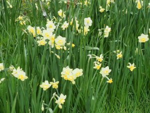 Narcissus 'Yellow Cheerfulness'
