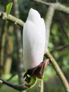Magnolia 'Rouged Alabaster'