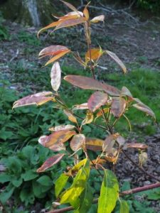 Acer erianthrum