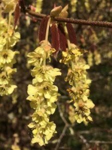 Corylopsis willmottiae (now sinensis) 'Spring Purple'