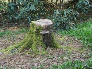 Quercus x ludoviciana