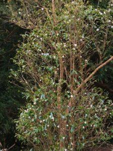 Camellia taliense
