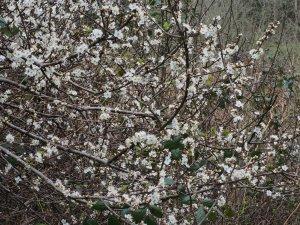 Prunus cerascifera