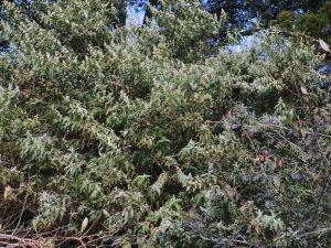 Buddleia salvifolia