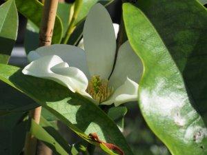 Magnolia laevifolia x M. maudiae BKR