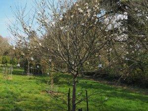 2011 planted Magnolia loebneri 'Lucy Carlson'