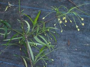 Pittosporum illiciodes var. angustifolium