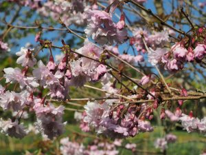 Another Prunus 'Hally Jolivette'