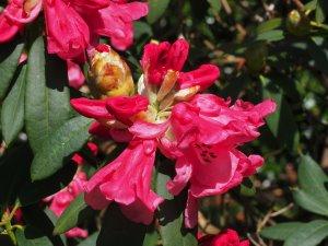 Rhododendron moorei x euchaites