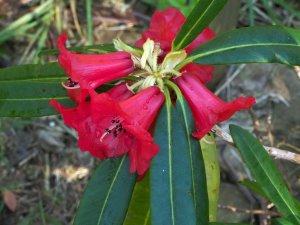 Rhododendron neriiflorum ssp. phaedropum
