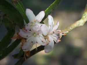 Rhododendron scabrifolium