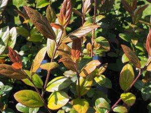 Viburnum taitoense