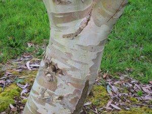 Eucalyptus simonosii
