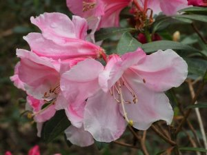 Rhododendron 'Anne Teese'