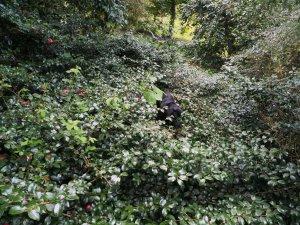 new camellia