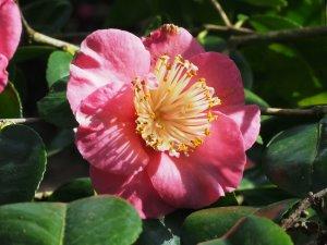 Camellia 'Hatsu-Zakura'