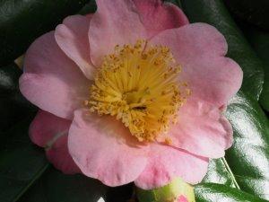 Higo camellias 'Takasago'?