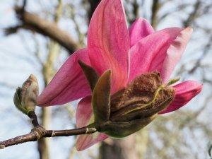 Magnolia 'Yuchelia'