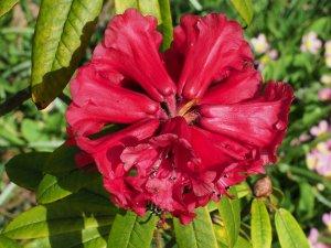 Rhododendron monosematum