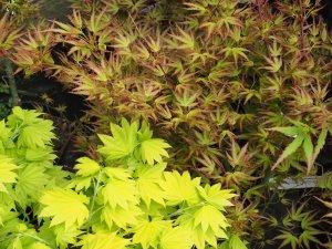 Acer shirasawanum 'Jordan' and Acer palmatum 'Kamagata'