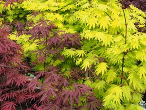 Acer shirasawanum 'Jordan' and Acer palmatum 'Moonrise'