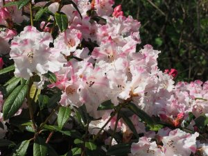 Rhododendron 'Lady Alice Fitzwilliam'