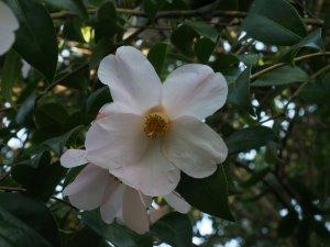 Camellia x williamsii 'JC Williams'