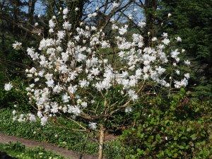 Magnolia x loebneri 'Mag's Pirouette'